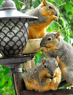 Tres Squirrels. Fat and happy Critters!