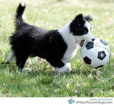 Border collie puppy Marlowe and I were just out in the snowy driveway playing soccer today! Cute Puppies, Cute Dogs, Dogs And Puppies, Doggies, Dogs Pitbull, Border Collie Puppies, Collie Dog, West Highland Terrier, Australian Shepherds