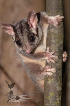 Leadbeaters possum Gymnobelideus leadbeateri is a critically endangered possum largely restricted to small pockets of alpine ash mountain ash and snow gum Reptiles, Mammals, Australian Possum, Australian Birds, Felt Animals, Cute Baby Animals, Funny Animals, Australia Animals, Chef D Oeuvre