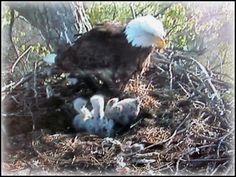 Decorah Eagles - from the Webcam Decorah Eagles, Eagle Nest, Birds Of Prey, Raptors, Nature Animals, Mother Nature, Creatures, Bald Eagles, Nests