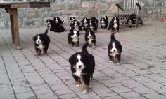 There's really nothing like eighteen Bernese mountain dog puppies running towards you to brighten up your day. These dogs are amazing! #BerneseMountainDog