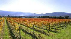 Mandala Wines, Yarra Valley and the Dandenong Ranges, Victoria, Australia.