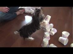 Misa Minnie is a 23 week old Yorkie puppy in this video that loves treats, training, and California sunshine. :) this week we learned how to stack paws, push, push a ball into a stack of cups and other things! Im so proud of my little Misa. She is home trained and we used Stella and chewy treats in this video.  I still think shes the worlds sm...