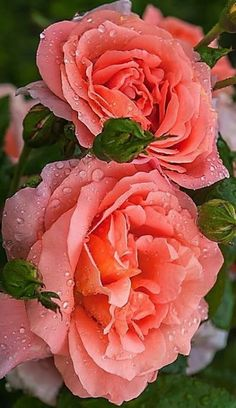 Beautiful Flowers Wallpapers, Beautiful Rose Flowers, Exotic Flowers, Amazing Flowers, Pretty Flowers, Beautiful Gardens, Coral Roses, Orange Roses, Red Roses
