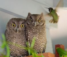 Cornell Lab of Ornithology. Citizen Science Blog. Doris Evans noticed an agitated Costa's Hummingbird hovering around her patio pillars at her home in Tucson, AZ. Sure enough, the hummingbird was trying to tell two immature Western Screech-Owls to move along.