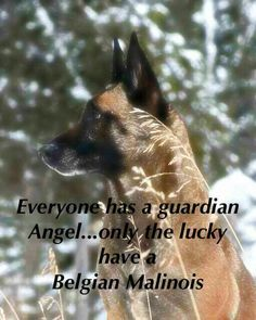 Malinois Everyone has a guardian angel,,, but the lucky ones have a Belgian Malanois