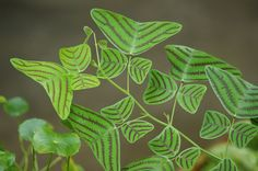 Butterfly Plant - Christia Obcordata | Flickr - Photo Sharing!