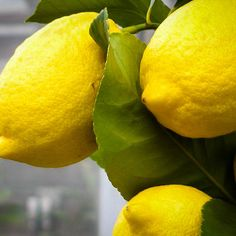 Meyer Lemon Tree For Sale Online Homemade Sorbet, Homemade Lemonade, Eureka Lemon Tree, Meyer Lemon Tree, Trees Online, Citrus Trees, Miniature Trees, Potted Trees, Lemon Desserts