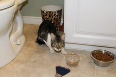 Found Cat - Tabby - Hamilton, ON, Canada L8H 5N7 on June 30, 2015 (13:00 PM)