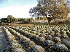 Clairmont Farms, Los Olivos, CA
