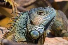 Afbeeldingsresultaat voor reptilien