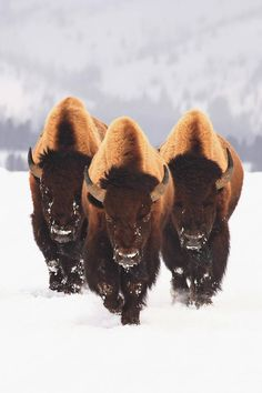 Bison x 3 Spectacular.Bison should be Texas' State Animal! Nature Animals, Animals And Pets, Cute Animals, Wild Animals, Black Animals, Beautiful Creatures, Animals Beautiful, Amazing Animal Pictures, Photo Animaliere