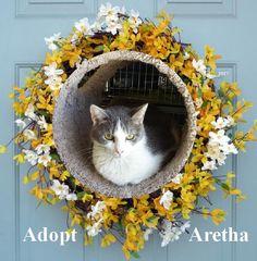 2/22/16 SL- Aretha Franklin  Cat • Tabby - Grey • Adult • Female • Medium  Paws Animal Shelter Urbana, OH