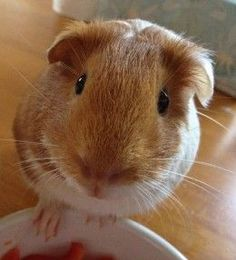 How to poop, potty, or litter box train your guinea pigs?