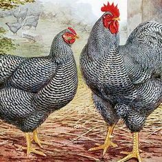 10 Amazing Facts About Speckled Sussex Chickens Breed