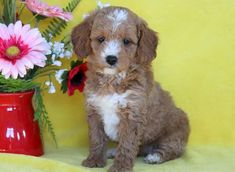 Listing Puppy for Sale Cockapoo Puppies For Sale, Cute Puppies, Puppies Puppies, Mount Joy, Pets, Gender Female, Pennsylvania, Health, Animals