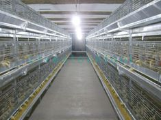 Chicken cages are the main equipment for modern chicken breeding. Different cage equipments are suitable for different chicken groups. According to the combination, the cages can be divided into ladder cages and stacked cages. According to the types of chickens, they can be divided into chick cages, broiler cages, and Layer cages. Chicken Bird, Chicken Pen, Chicken Cages, Chicken Coop Plans, Building A Chicken Coop, Types Of Chickens, Coops, Livestock, Ladder