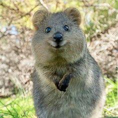 Le quokka est un petit marsupial que l'on ne trouve qu'en Australie-Occidentale. Le quokka pèse de 2,5 à 5 kg et mesure de 40 à 54 cm de long, avec une queue relativement courte pour un marsupial, d'une longueur d'environ 25 à 30 cm. Cute Little Animals, Cute Funny Animals, Beautiful Creatures, Animals Beautiful, Quokka Animal, Weekender, Country Critters, Australia Animals, Animal Antics