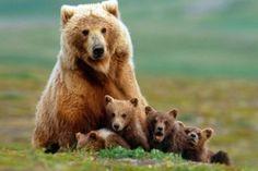 El oso #animales #curiosidades #curiosfera @cur