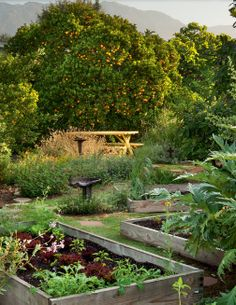 Adorable country garden with orange orchard and simple garden beds. http://www.americanbungalow.com/native-gardens-part-2/