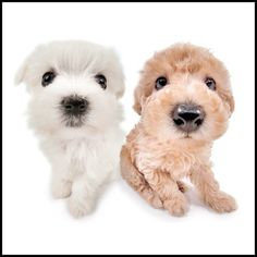 Artlist Collection THE DOG — Rihanna's dog is a Maltepoo (a mix of Maltese and Poodle) named DJ.