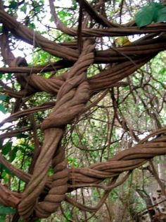 vine growing in many directions: twisting, wrapping, squeezing
