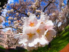 UW Cherry Blossoms | Spring 2014 (Photo by Nirupam Nigam)