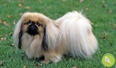 Cani - Pechinese