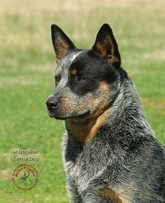 Blue Heeler Australian Cattle Dog- They are so gorgeous!