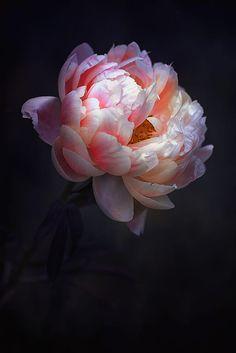 New Flowers Peonies Garden Inspiration 61 Ideas Peony Flower, My Flower, Flower Art, Cactus Flower, Flowers Nature, Beautiful Flowers, Dark Flowers, Flowers In Bloom, Piones Flowers