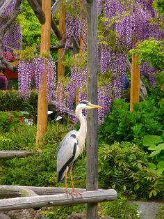 Wisteria and Heron - Kameido Tenjin Shrine, Tokyo, Japan