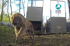 Largest-ever Amur tiger release in Russia hopes to signal species return