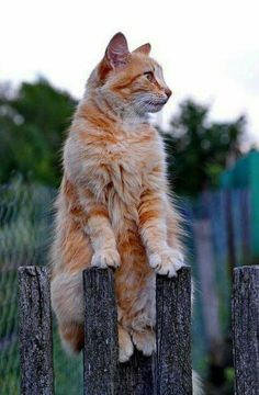 Cat Lovers Community - Your Daily Source of Cat Stories and Funny Cat Memes I Love Cats, Crazy Cats, Cool Cats, Animals And Pets, Cute Animals, Animal Gato, Photo Chat, Orange Cats, Ginger Cats