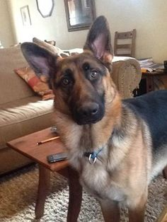 SHENANDOAH COUNTY, VA--STILL MISSING DIESEL!  Update 6/28/13: Still missing! **Reward for safe return** 1.5 years old neutered male. No collar. Sweet, friendly boy can be shy skittish. Family is heartbroken. Please call if you have any info! 540-325-9338.