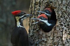 How About Dinner, Mom??? - Two young pileated woodpeckers are quite demanding.