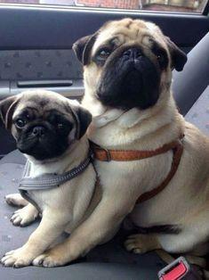 babyanimalgifs:baby animals blog #pug