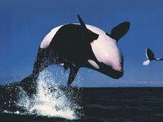 ballenas orca -