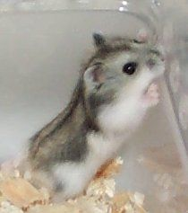 Dwarf Hamster. I have 2 of these and they're sssoo adorable
