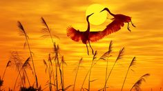 This HD wallpaper is about Dusk, Egrets, Birds, Sunset, Original wallpaper dimensions is file size is Bird Wallpaper, Sunset Wallpaper, Widescreen Wallpaper, Photo Wallpaper, Desktop Wallpapers, Sunset Sky, Sunrise, Beautiful Birds, Beautiful World
