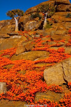 Namaqualand wildflowers, Namaqualand, South Africa, one of the world's largest wildflower blooms, Dimropotheca sp. Beautiful World, Beautiful Places, Out Of Africa, Africa Travel, Beautiful Landscapes, Wonders Of The World, Places To See, Wild Flowers, South Africa
