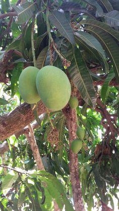 2b24c6280cd154934cacc9379fc296de  orchards mango