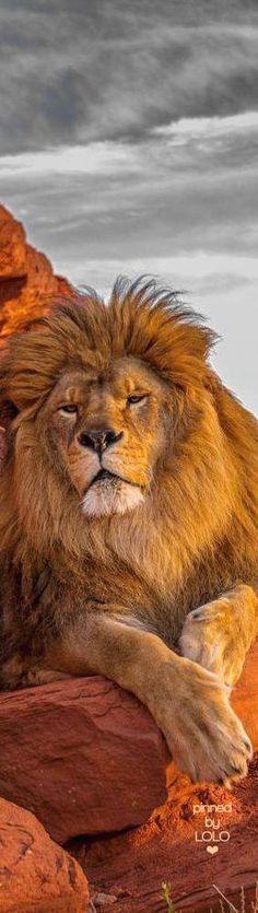 Beautiful Lion   LOLO❤︎
