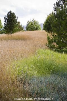 Groundcover grasses in urban park landscape design meadow garden Pennisetum spathiolatum (left) Pennisetum 'Tall Tails' (green) Leymus condensatus 'Canyon Prince' (gray), Jeffrey Open Space, Irvine California