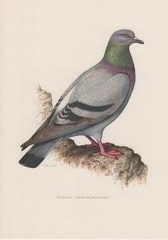 1958 Feral Pigeon, Rock Dove, Antique Print, Vintage Lithograph, Columba livia, Domestic Pigeon, Ornithology