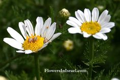 Common name: Israel's Chamomile Flowering Period:  March, April, May, June