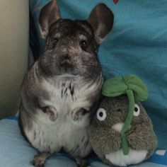 Cutie Chinchilla Poses With Best Friend...☺☺☺  ❤ http://smallpetselect.com/ ❤