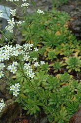 Isorikko (Saxifraga hostii) | perennapuutarha