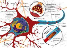 Plasticidad neuronal - Wikipedia, la enciclopedia libre