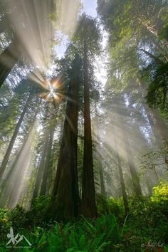 Sunbeams in a redwood forest (California) by Raven Mountain Images | Phillip & Monica Noll / 500px