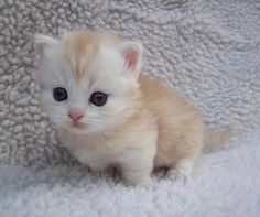 Ten Great Cat Breeds for Kids Cutest Kittens Ever, Cute Baby Cats, Cute Cats And Kittens, Cute Baby Animals, Animal Babies, White Fluffy Kittens, Munchkin Kitten, Tiny Kitten, Beautiful Cats